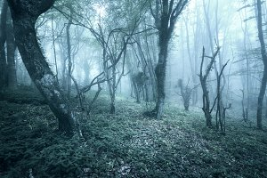 Mysterious dark old forest in fog