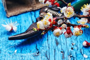 April cherry blossoms