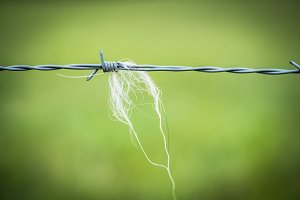 Sheep wool on a wire fence