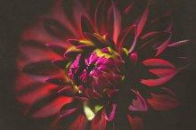 iseeyouphoto vintage dark dahlia