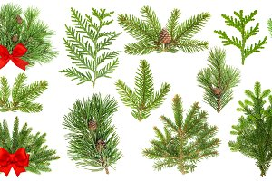 Evergreen coniferous tree branches