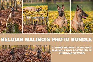 Belgian Malinois, autumn portraits