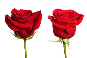 Two flowers of red rose close-up