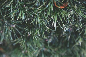 Fir Christmas Tree
