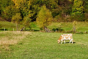 Cow pastures on the farm field