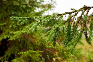 Fir Pine Christmas Tree Branch