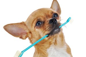 Red chihuahua dog with toothbrush is