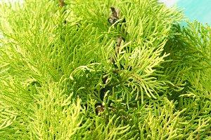 Closeup of thuja branch