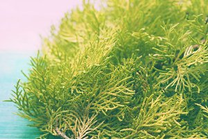 Closeup of thuja branch on table