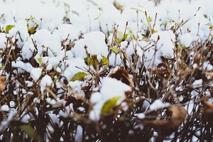 Snowy Bush and Green Leaves