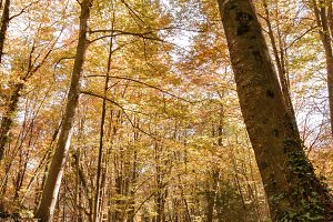 Beech forest in autumn