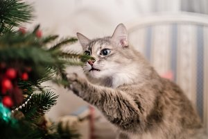 Cute grey cat investigating the decorations on a Christmas tree