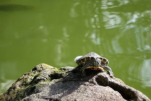 Turtle sunbathing on Fish Pond