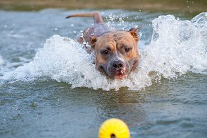 Happy american staffordshire terrier