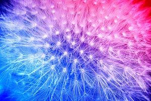 Tender cyan and pink dandelion macro