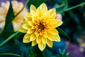 Yellow flower dahlia macro
