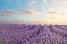 Blooming Lavender field