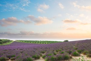 Blooming Lavender field
