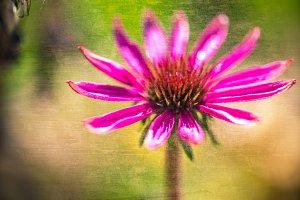 Vintage Echinacea