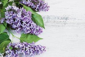fresh branch of lilac