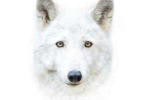 polar wolf face