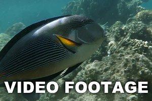 Sea dweller, sohal surgeonfish