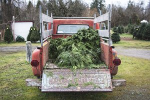 Classic Truck with Pine Branches