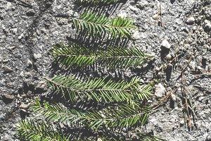 Pine tree miniature