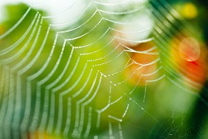 Dew in cobweb