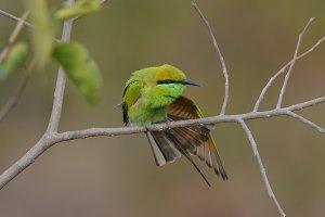 Green Fly Catcher 2