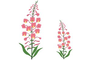Angustifolium, Willow tea herb
