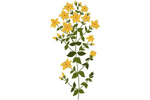 Illustration of the plant Hypericum
