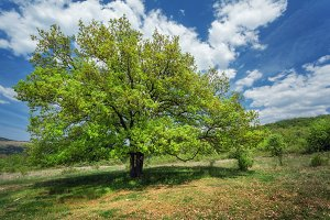 Tree. Summer landscape