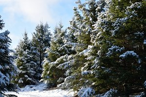 Snow Covered White Spruce