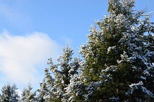 White Spruce in Winter