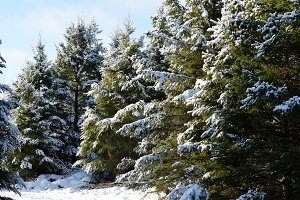 December White Spruce (Picea glauca)