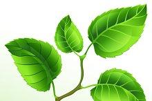 Illustration of branch green leaves.