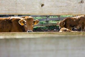 Calves in a pen