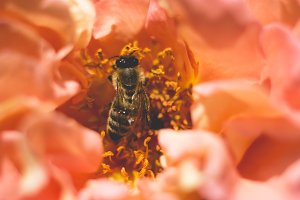 Bee inside a rose