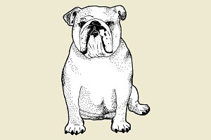 English Bulldog line drawing