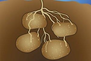 Potato - Solanum tuberosum