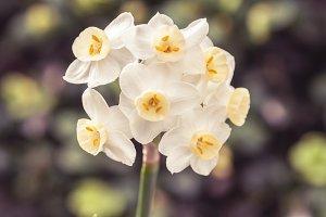 White and yellow narcisus detail