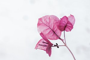Bougainvillea pink flower detail