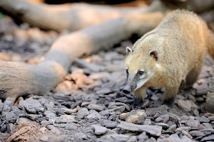 The coati (Nasua)