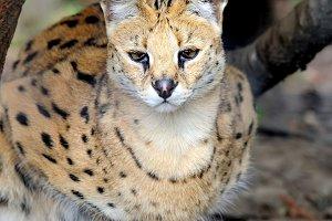 Wild Cat, Serval (Felis serval)