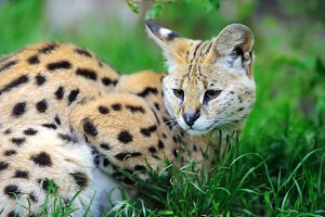 Serval cat (Felis serval) walking in