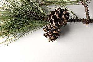 Pine Trees & Pine Cones 2
