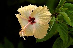 Light Yellow Hibiscus