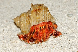 Beautiful Big Hermit Crab