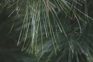 Christmas Tree Pine Needles